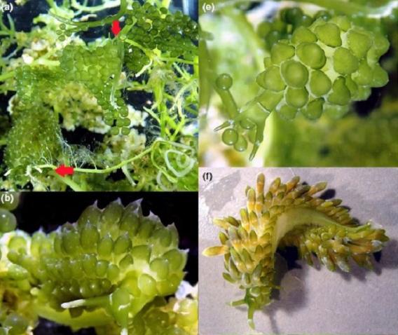 Sacoproteus_smaragdinus-S_nishae-S_yhiae--novataxa_2018-Krug_Wong_Medina_et-al--@fleliaer