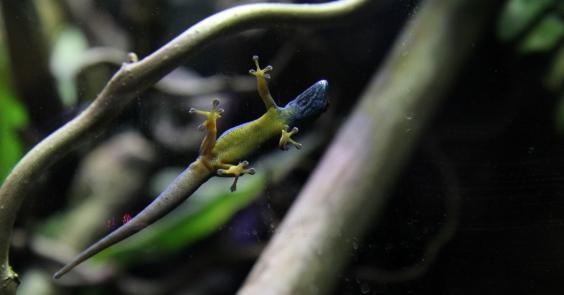 lygodactylus williamsi pieni